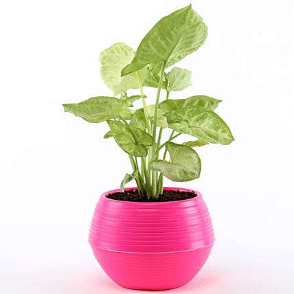 Syngonium Plant In Pink Pot: Send Gifts for Teachers Day