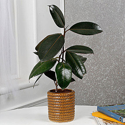 Air Purifying Rubber Plant: