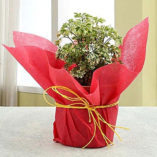Amazing Aeralia Plant: Herbs and Medicinal Plants