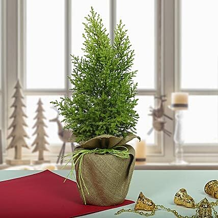 Amazing Cyprus Plant: Buy Secret Santa Gifts