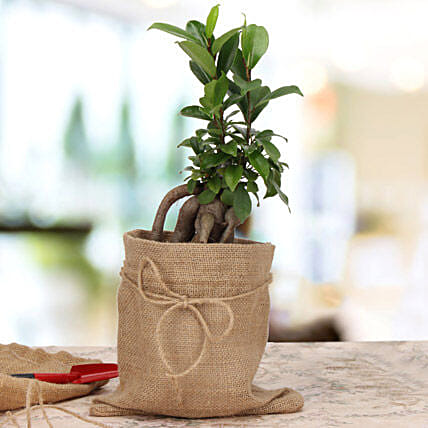 Amazing Ficus Microcarpa Plant: Gifts for 10Th Birthday