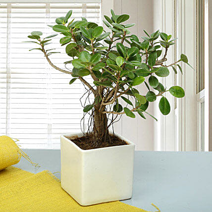 Attractive Ficus Iceland Bonsai Plant: Office Desk Plants