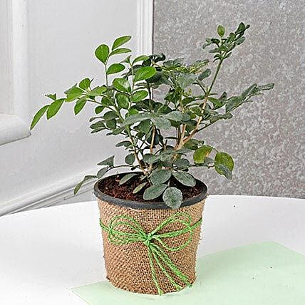 Evergreen Muraiya Exotica Dwarf Plant: Tropical Plant Gifts