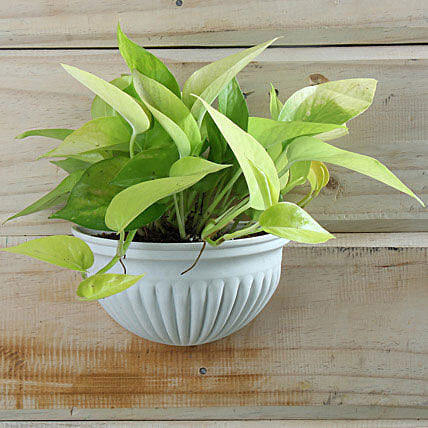 Exotic Money Plant: Potted Plants