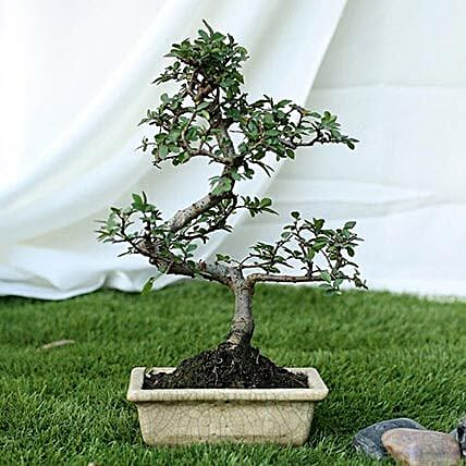 Fashionable Ulmus S Shape Bonsai Plant: Rare Plant Gifts