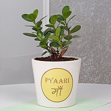 Ficus Dwarf Plant For Mom: Birthday Gifts for Mother