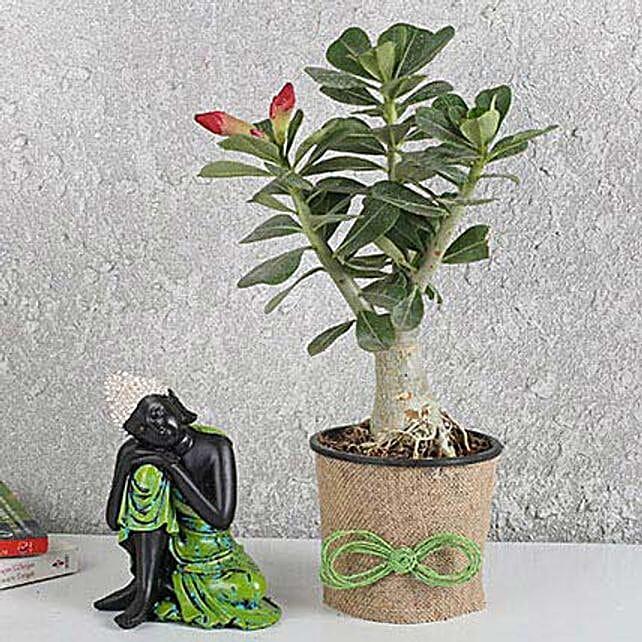 Lively Adenium Desert Rose Plant: Outdoor Plants