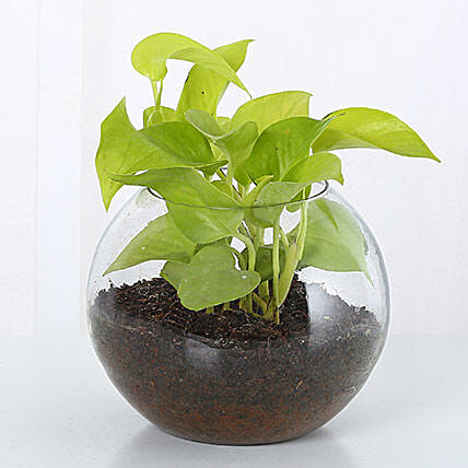Money Plant Terrarium: Spiritual Gifts for Bhai Dooj