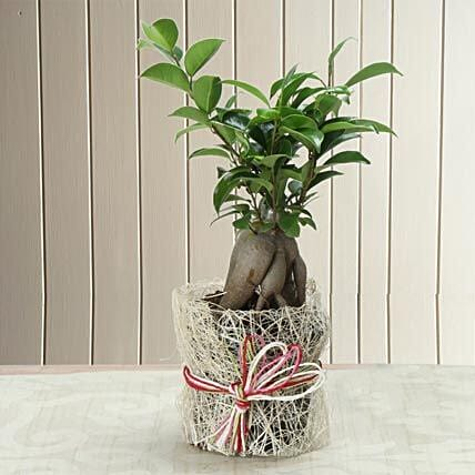 Potted Ficus Bonsai Plant: Gift For Boss