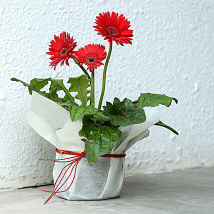 Potted Red Gerbera Plant: