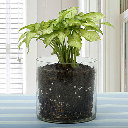 Syngonium Gold Allusion Plant Terrarium: Gifts Delivery In Brooke Fields