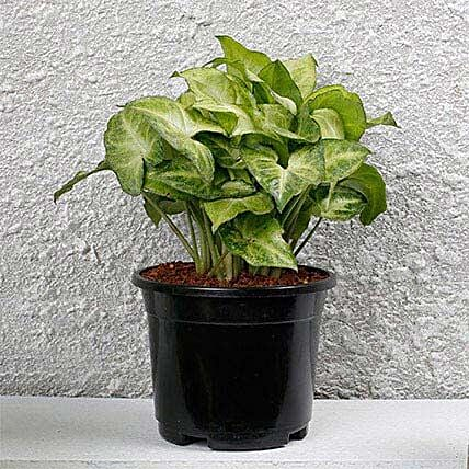 Syngonium White Plant In Black Pot: Brothers Day Gifts