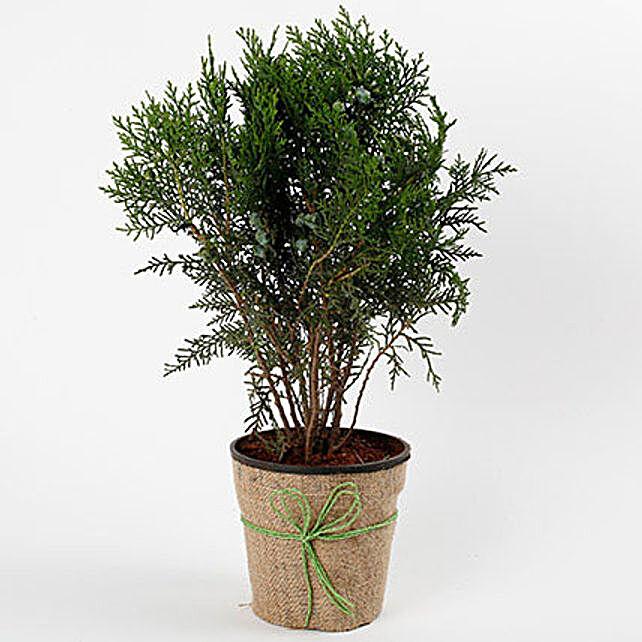 Unique Mor Pankh Dwarf Plant: Best Outdoor Plant