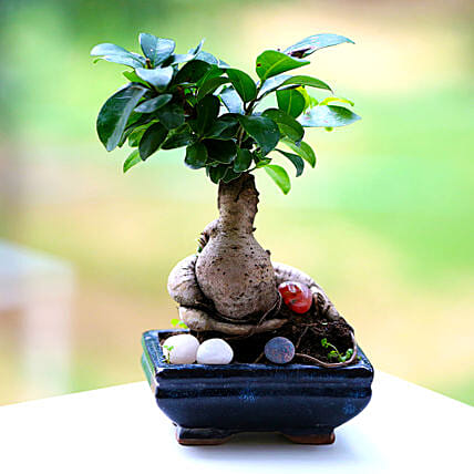 Beautiful Ficus Microcarpa Plant: Gifts to Begusarai