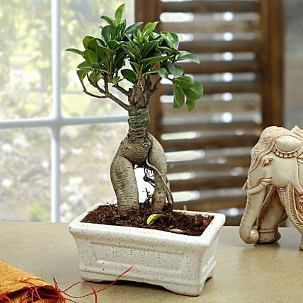 Marvellous Bonsai Plant: Gifts to Shahjahanpur
