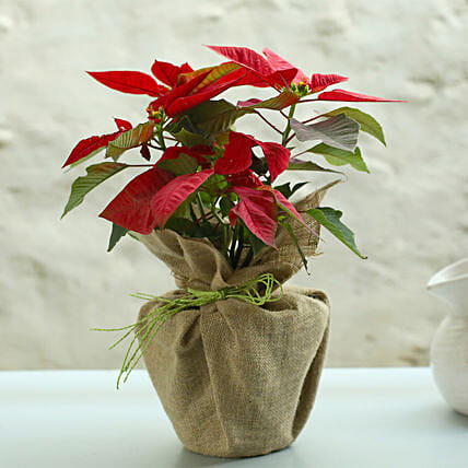 Potted Red Poinsettia Plant: Send Christmas Trees