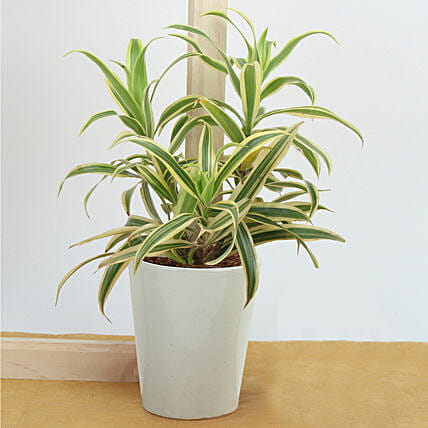 Song Of India Air Purifying Plant: Buy Indoor Plants