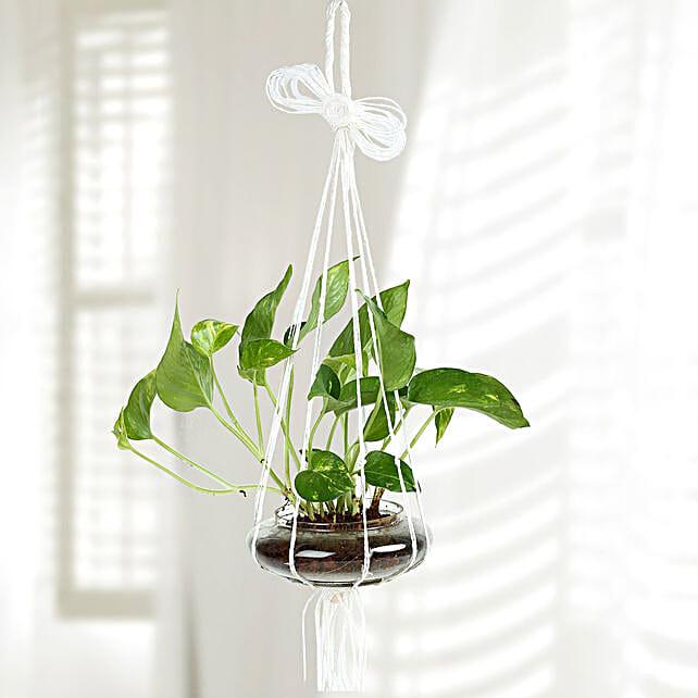 Evergreen Hanging Money Plant Terrarium: Hanging Plants