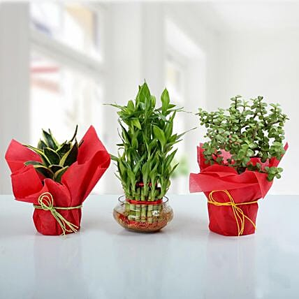 Set of 3 Prosperous Plants: Lucky Bamboo for Friendship Day