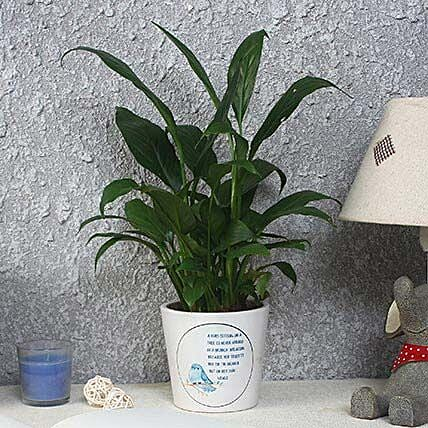 Lush Green Peace Lily Plant: Flowering Plants
