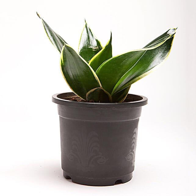 MILT Sansevieria Plant in Black Plastic Pot: Cactus and Succulents Plants