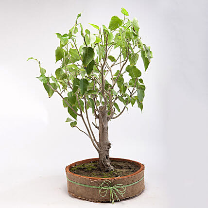 Paras Peepal Bonsai Plant in Terracotta Circular Tray: Spiritual and Vastu Plants