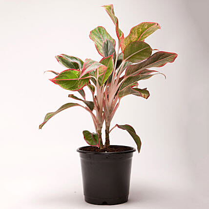 Red Aglaonema Plant in Black Plastic Pot: Plants For Terrace and Balcony