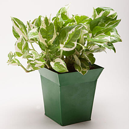 White Pothos Plant in Bucket Shaped Metal Pot: Plants Offers