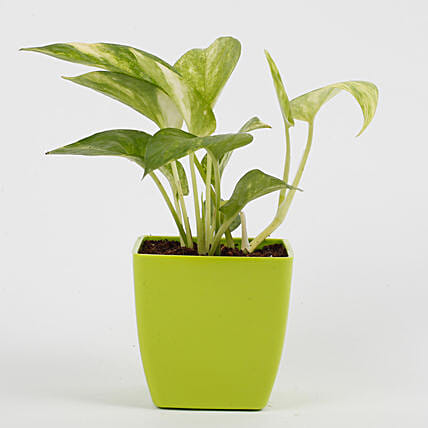 Money Plant in Imported Plastic Pot: Money Plant
