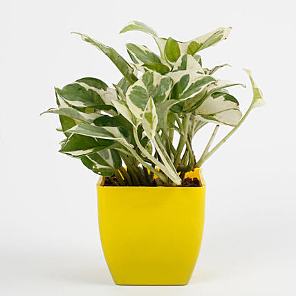 White Pothos Plant in Imported Plastic Pot: Foliage Plants