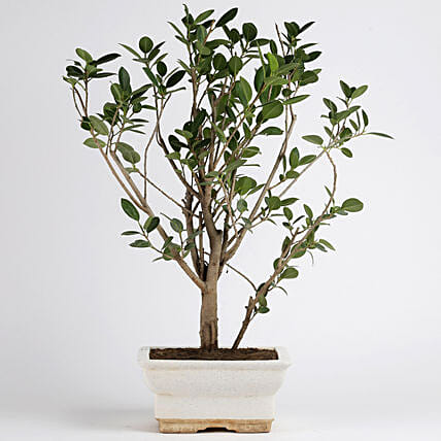 Ficus Panda Plant in White Ceramic Pot: Air Purifying Plants