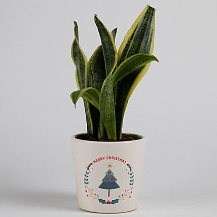 MILT Sansevieria Plant in Ceramic Pot for Christmas: Plants for Christmas
