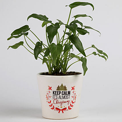 Xanadu Philodendron Plant in Ceramic Pot for Christmas: Buy Christmas Plants