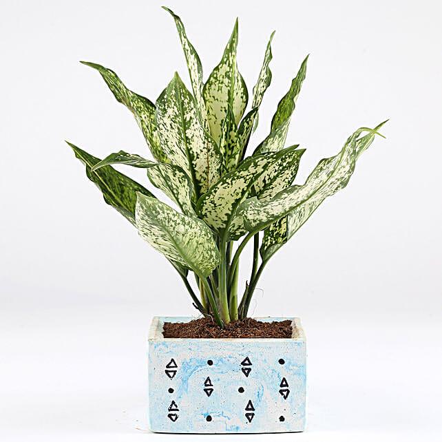Aglaonema Plant In Blue Concrete Pot:
