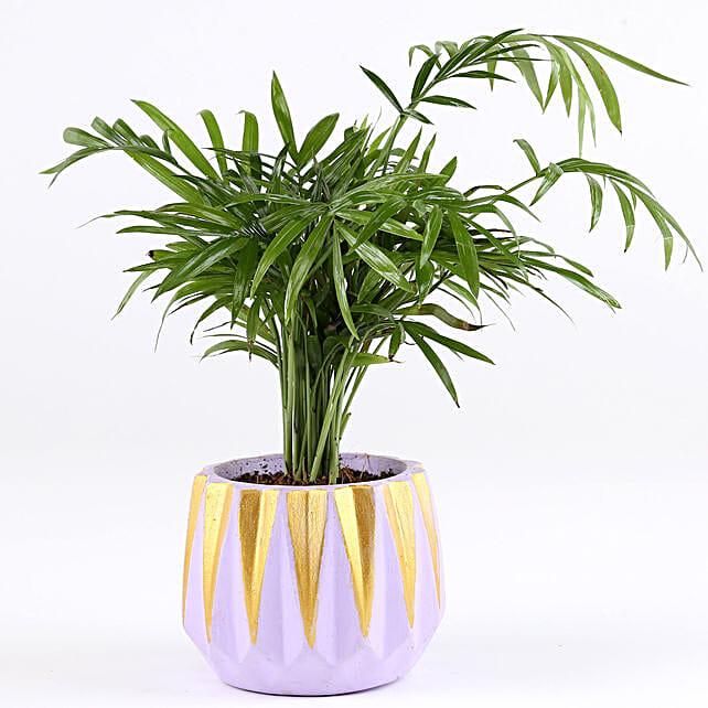 Chamaedorea Plant In Dholki Concrete Pot: Air Purifying Plants