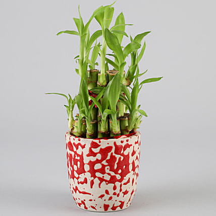 2 Layer Bamboo In Designer Ceramic Pot: Bamboo Plants