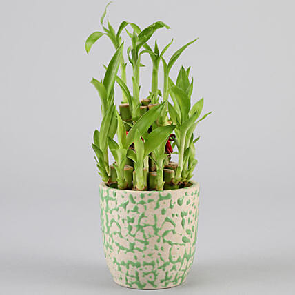 2 Layer Bamboo Plant In Green Ceramic Pot: Bamboo Plants