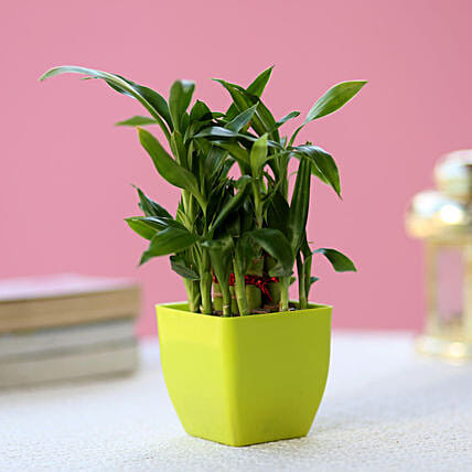 2 Layer Bamboo Plant In Green Melamine Pot: Bamboo Plants