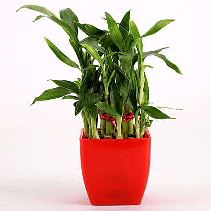 2 Layer Bamboo Plant In Red Melamine Pot: Office Desk Plants