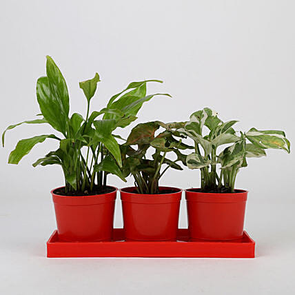Set of 3 Foliage Plants in Red Pots: Air Purifying Plants