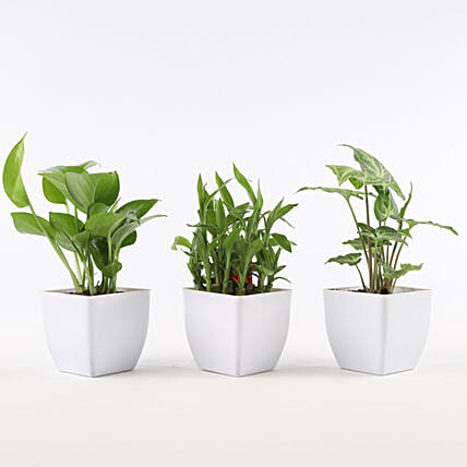 Set of Foliage & Bamboo Plants In White Pot: Buy Indoor Plants
