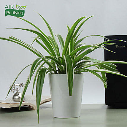 Potted Spider Plant: Ornamental Plants
