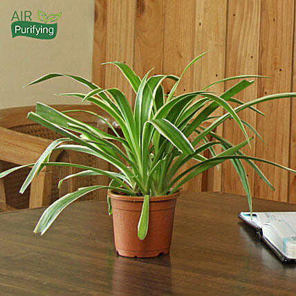 Spider Plant: Ornamental Plants