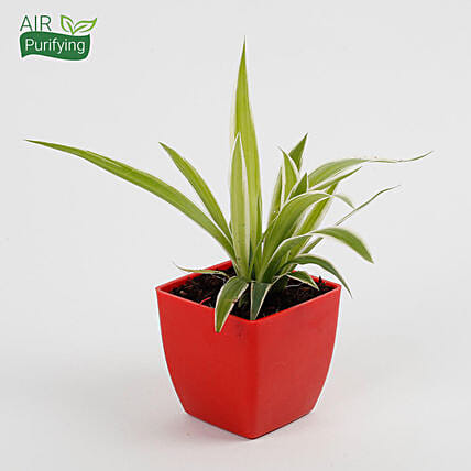 Spider Plant in Imported Plastic Pot: