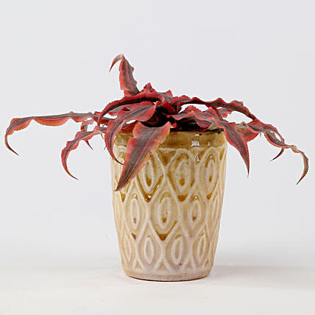Cryptanthus Pink In Ceramic Pot: Flowering Plants