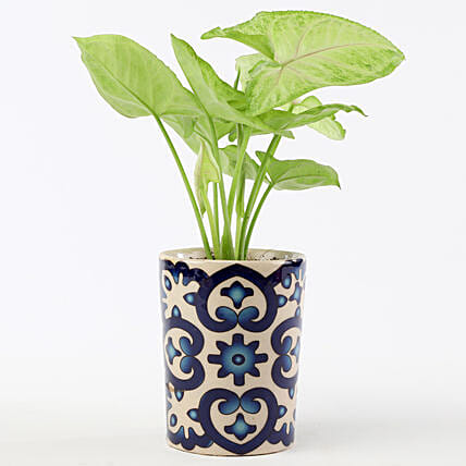 Golden Syngonium In Blue Ceramic Pot: