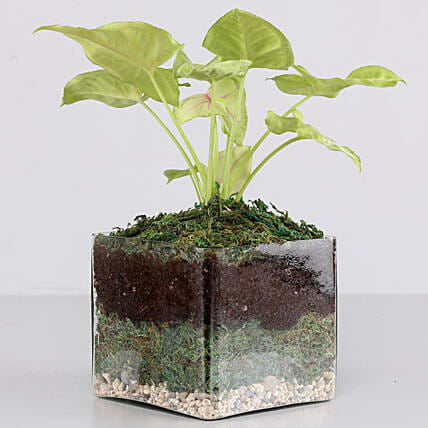 "Syngonium Plant 4"" Glass Terrarium: Brothers Day Gifts"