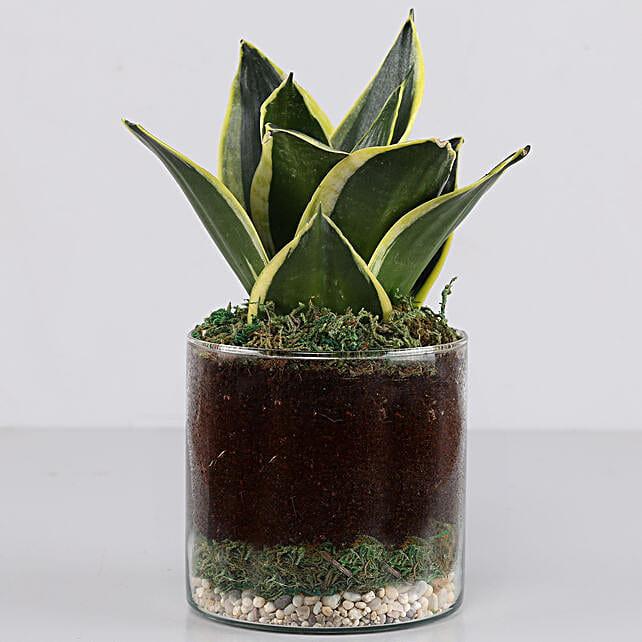 "Jade Marginata Snake Plant 4"" Glass Terrarium: Terrariums Plants"