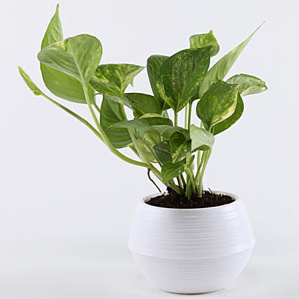 Money Plant In White Pot: Money Plant