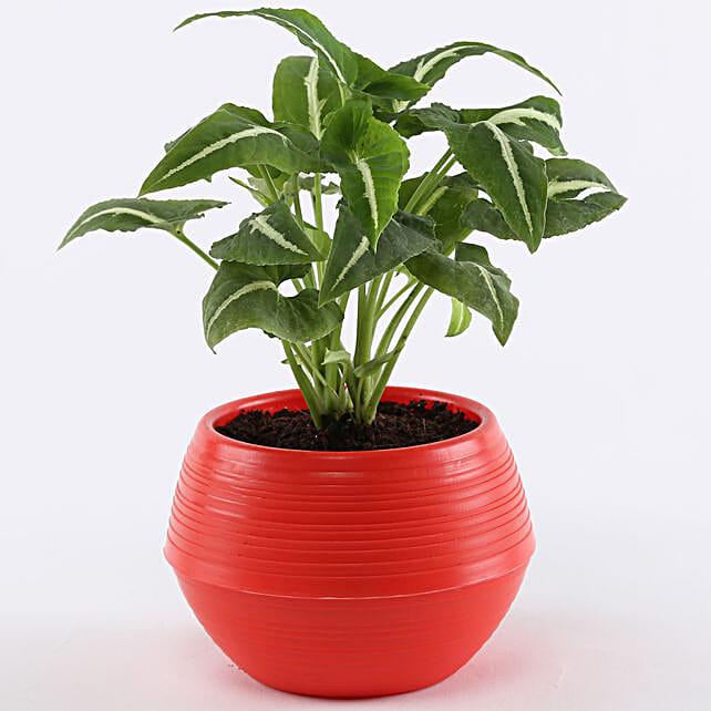 Syngonium Wendlandii In Red Pot:
